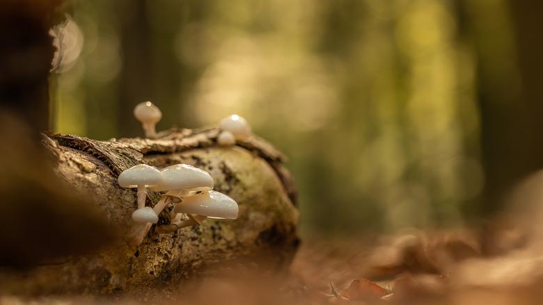 Herfst - Porseleinzwam, Hierdensebeek