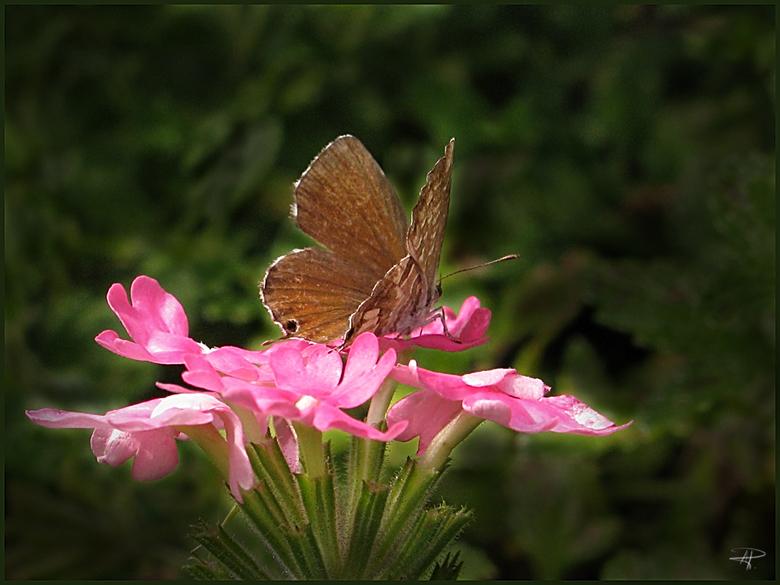 Italiaans vlindertje - Was er ook als de kippen bij,  bij de eerste zonnestralen.<br /> Canon PowerShot A650 IS<br /> gr.renata