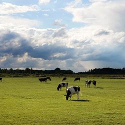 koeien Dussen