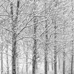 Winterse stammen