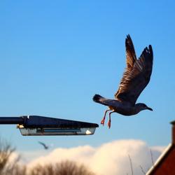 Wegvliegende Meeuw