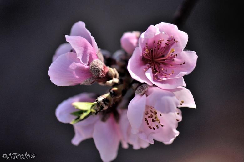 Perzikbloesem. - De eerste vroege perzikbloesem is er ook al weer, nu zal het snel gaan met het voorjaar hier. Temperaturen van ca 20 graden dagelijks