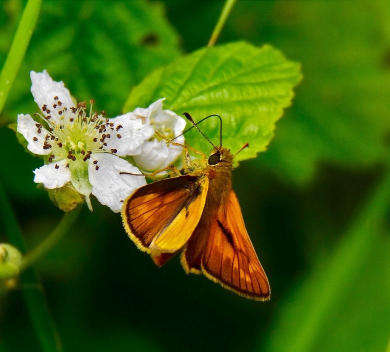 Oranje dikkopje - Dikkopje op de bloesem van de braam.<br /> In Nederland zijn er 14 soorten dikkopjes bekend, waarvan 5 soorten oranje dikkopjes. Ze
