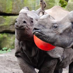 Indische neushoorns aan het spelen.