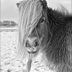 Shetlander winterlandschap