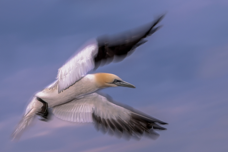 Dynamiek - Foto is voor zonsopkomst genomen op Helgoland. <br /> <br /> Ik wilde graag de kop scherp hebben met dynamiek in de vleugels. Heb voor ee
