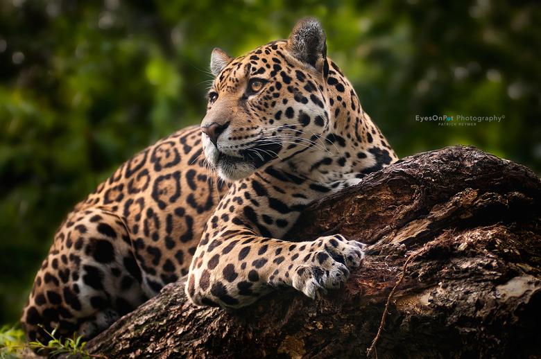 Jaguar - Jaguar, Dierenpark Emmen