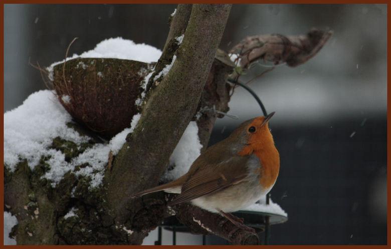 alle zegen komt van boven  - En de sneeuw ook lijkt deze roodborst te denken .<br />  Van middag me helemaal kunnen uitleven , vogels in de tuin met