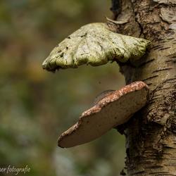 Twee zwammen op één berkeboom, Hooghalen