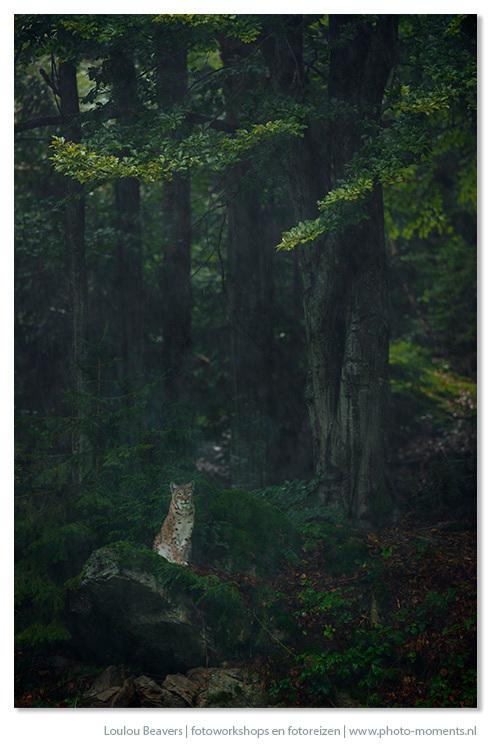 Lynx - Lynx dus, de foto is gemaakt tijdens de fotoreis naar het Beierse woud in de herfst van 2012. Op een regenachtige dag...slecht weer is zo slech