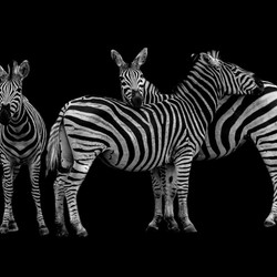 Zwart/Wit foto zebra's in het Kruger Park