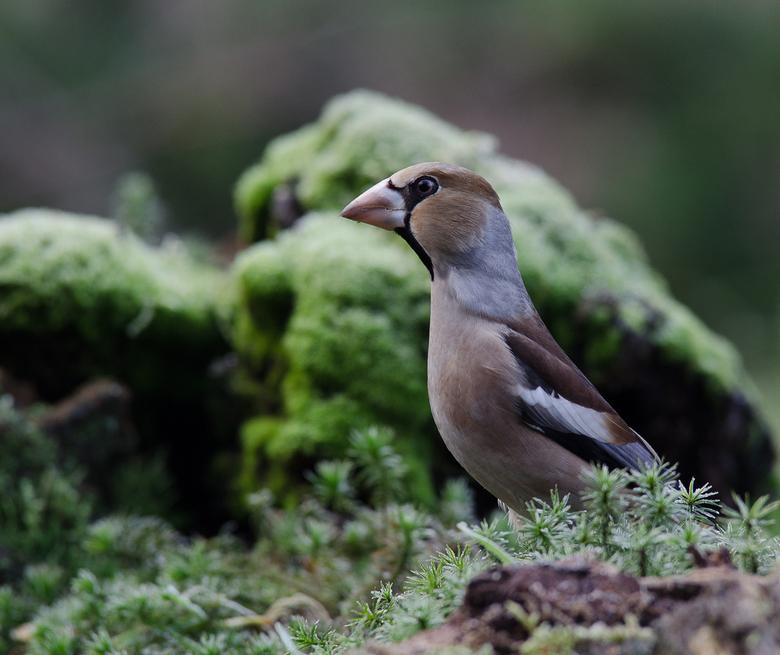 Appelvink - Wat zeker ook gezegd moet zijn is dat dit een forse vogels is als de de &quot; normale &quot; vink gewent bent .<br /> Nog wat info over