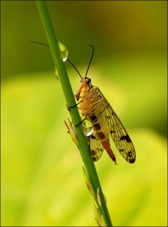 schorpioenvlieg(Panorpidae) - bedankt voor de reacties op m,n vorige foto<br /> vlieg op hoge poten<br /> <br /> had misschien iets scherper gekund