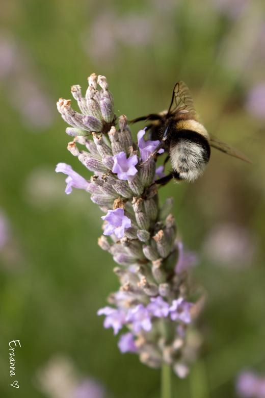 Hommeltje op lavendel - De lavendelstruik zit vol met bijtjes en hommeltjes.