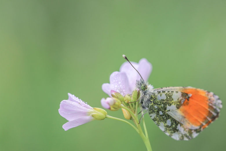 oranjetipje - Oranjetipje op een pinksterbloem