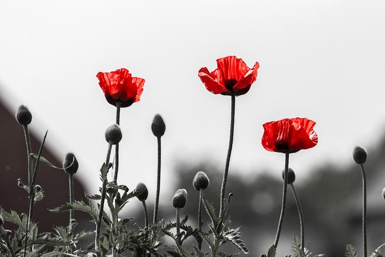 Klaprozen - Klaprozen staan symbool voor de twee wereldoorlogen.<br /> Beter gekend als de Poppies.<br /> De rode kleur van de bloem(en) gaf het blo
