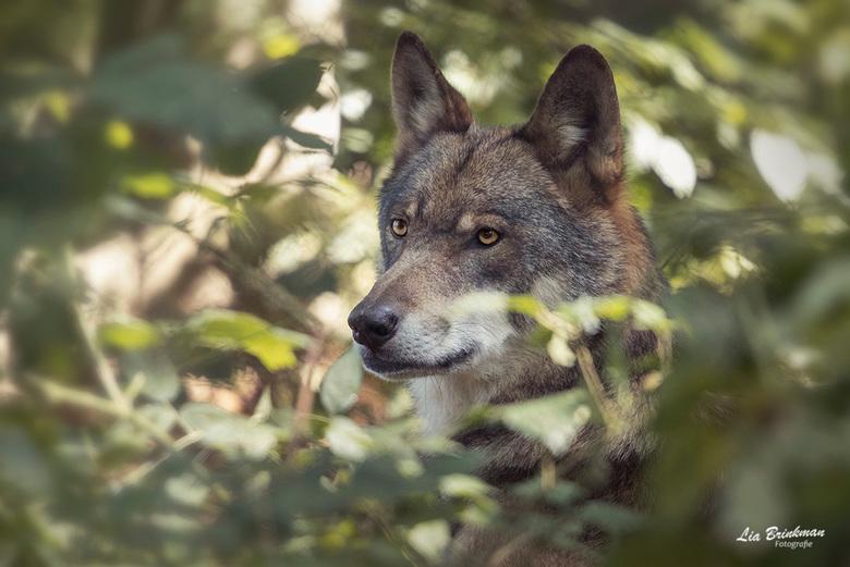 Wolf - De Wolf,<br /> Een mooi moment, een mooie ontmoeting met een wolf.<br /> Deze foto is genomen in een wildpark in Duitsland. Ze hebben daar ee