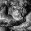 Chimpansee zwart/wit