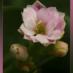 Kalancheou bloemetje