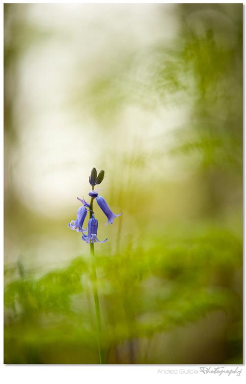Bluebell blues - 2 weken geleden in Hallerbos in Belgie. Ik moet zeggen dat ik er een beetje verloren liep zoveel dezelfde bloemen. Waar begin je dan