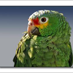 Geelwang Amazone