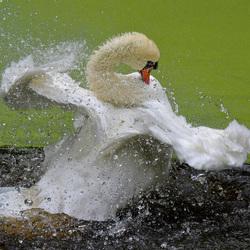 Dansende zwaan!