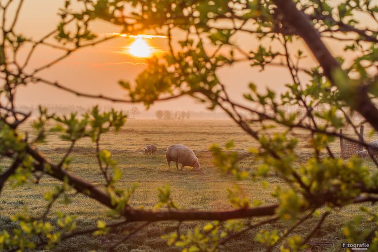 Zonsopgang in de Polder met schapen - Op een morgen in april, in het voorjaar. In het weiland bij Bergambacht. Geniet mee van de doorkijk naar de scha