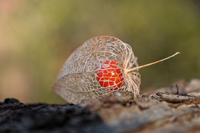 Lampionplant - Gedroogde lampionplant in het ritthemse bos