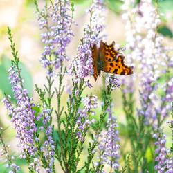 Bloeiende heide en een vlindertje
