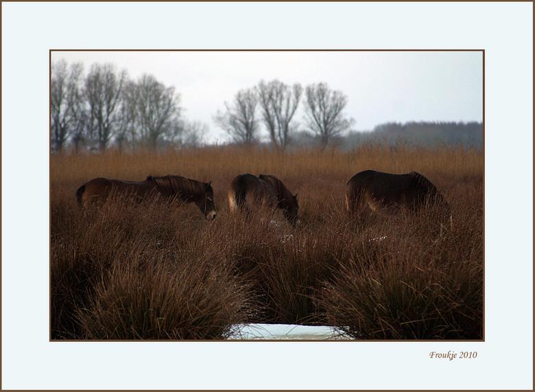 Konik paarden  - Deze paarden lopen in een natuurgebied en waren net door de beheerder gevoerd ,vandaar dat ze de kop(hoofd) niet omhoog deden toen ik