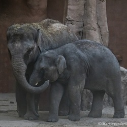 Lollifanten