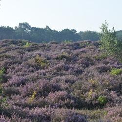 Heide bij Hilversum