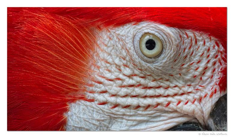 'Bird's Eye' - Close up van het oog van een papegaai.