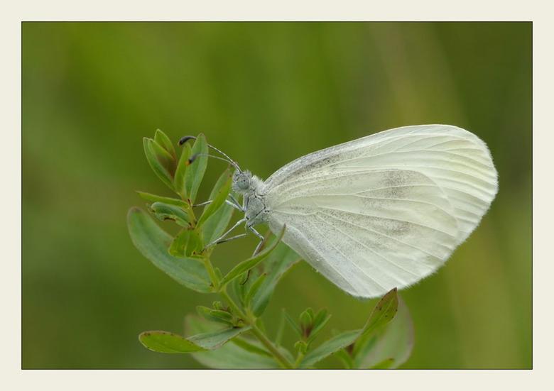 Boswitje - Dit uiterst kleine witje stond op m&#039;n verlanglijst.<br /> Was moeilijk te vinden , en nog moeilijker te fotograferen aangezien ze dic