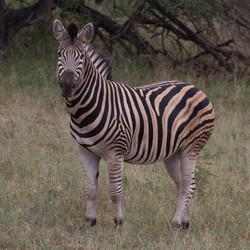 Prachtige zebra's