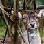 Wild hert