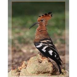 African Hoopoe (hop)