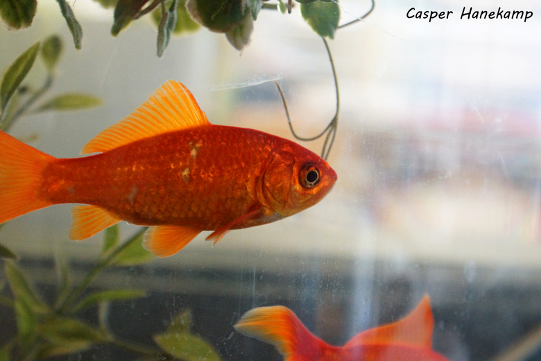 Goudvis  - De goudvissen op school.