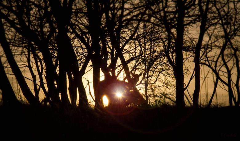 Hert in ochtendgloren - Silhouette van een hert bij zonsopkomst in het bos. Als je goed kijkt zie je dat ze haar jong aan het voeden is.