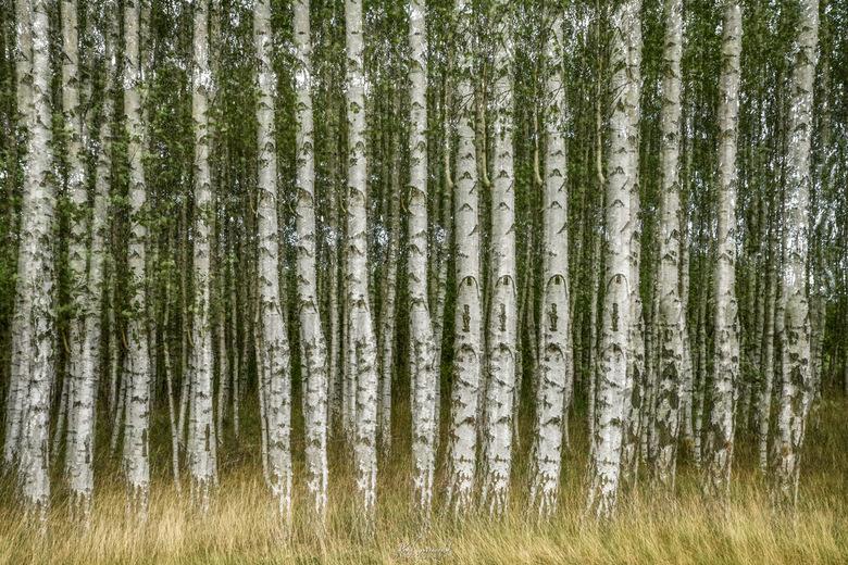 Berkenbos - Een foto opgebouwd uit vier Multi-opnames in de camera (Nikon D850). Door de verticale rechte lijnen van de berkenbomen en het horizontale