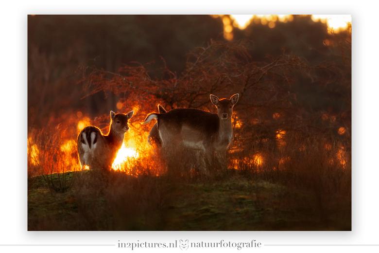 """Happy New Year - Het bos lijkt in brand te staan, maar het is """"slechts"""" de ondergaande zon die het bos en de hertjes nog even opwarmt voorda"""