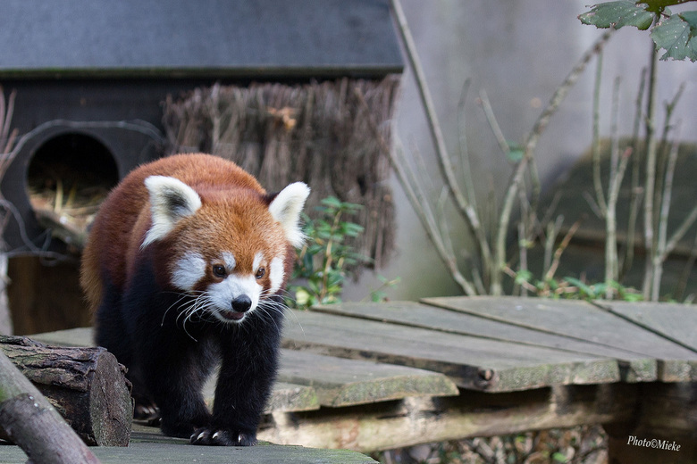 Ailurus fulgens fulgens - De behaarde voetzolen van de rode of kleine panda verminderen het risico, dat hij op vochtige, gladde takken uitglijdt. Daar
