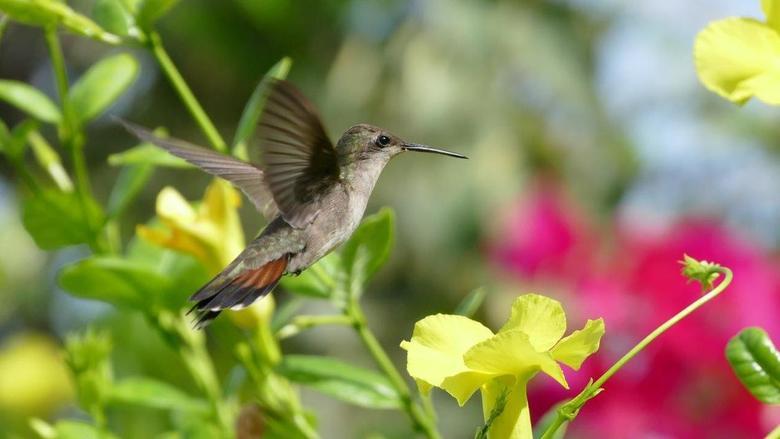 Kolibrie04
