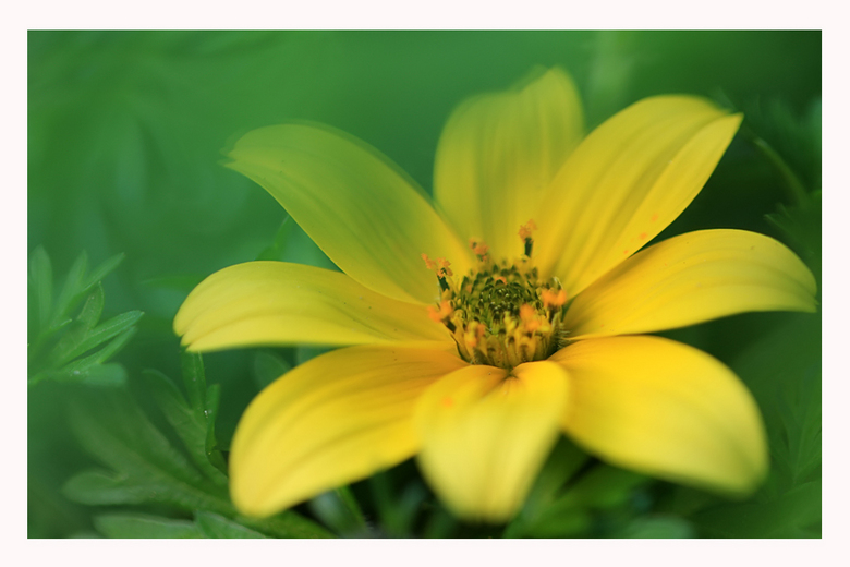 Mellow Yellow. - Tandzaad uit eigen tuin.