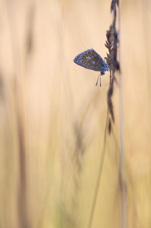The morning blues - Een Icarusblauwtje in de vroege morgen. Dank voor jullie reactie's op 'Meeting at sunrise'. Groet Arjo.