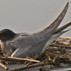 Stern op zijn nest