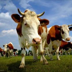 Dansende koeien