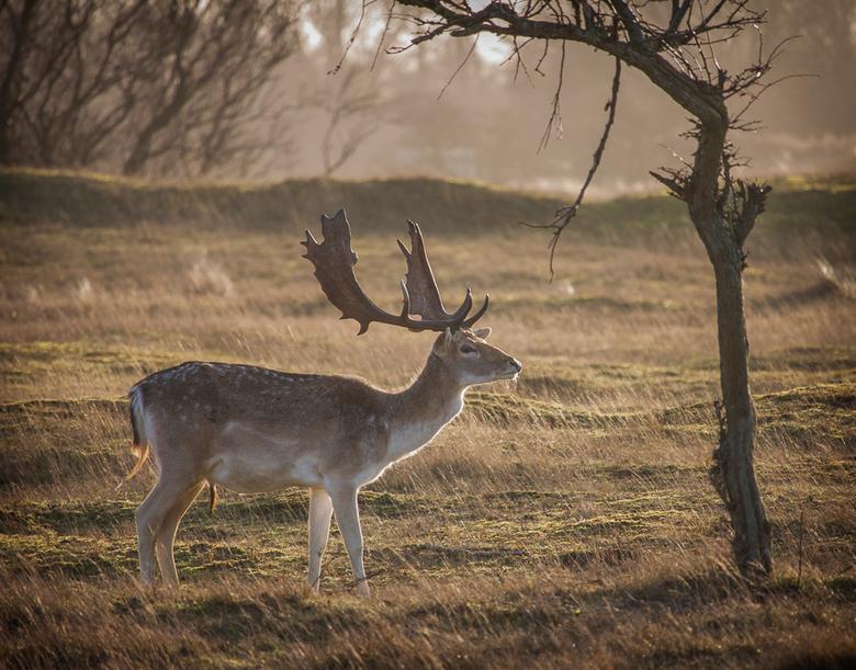 Hert in Winters Grasland