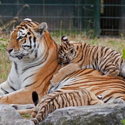 Siberische tijger en welpen