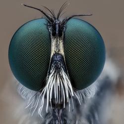 robberflyportret2